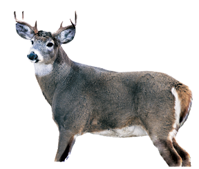Whitetail Buck Decoy